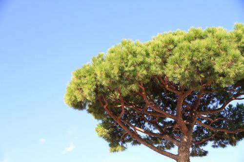 pine-428492_1280